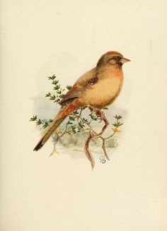 dendroica:  California Towhee by BioDivLibrary on Flickr. The birds of California :. Los Angeles ;South Moulton Company,1923..biodiversitylibrary.org/page/39754423