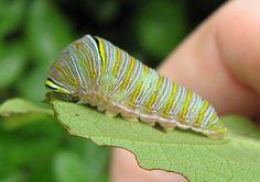 Zebra Swallowtail caterpillar (Eurytides marcellus)