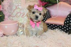 Morkie |Teacup Morkie| Morkie Puppies for Sale |Maltipoo | Malshi ...