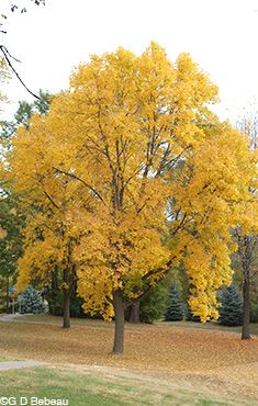 Fraxinus Americana White Ash Zone 4 9 50 80 Ft High Spread Plants For Fall Color