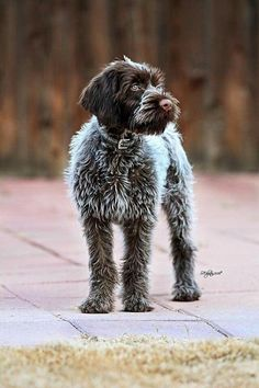 Home Made Dog Clothes Wirehaired Pointing Griffon Made Dog Clothes Wirehaired Pointing Griffon Pointer Puppies, Pointer Dog, Dogs And Puppies, Doggies, Beautiful Dogs, Animals Beautiful, Cute Animals, Griffon Dog, Wirehaired Pointing Griffon