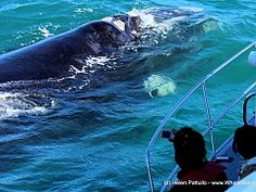 View a list of boat based whale watching operators in Southern Africa - Dirty Boots Whale Watching Season, Whale Watching Tours, V&a Waterfront, Port Elizabeth, Adventure Activities, Kayaking, South Africa, Coast, Nelson Mandela