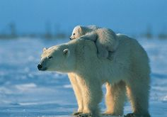 Polar bear HD Wallpapers 4