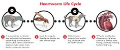 Heartworms in Dogs: Myths vs. Facts | Cesar Millan