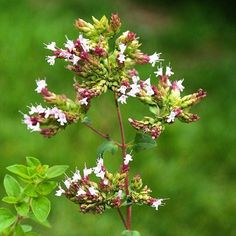 "Although oregano has been a well-loved culinary #spice in America since the 1940s, as early as the 1920s researchers were studying it for it's #medicinal properties. Here's more history and lore about Oregano from a new Plant Profile featured in The Herbarium: OREGANO-- ""Origanum vulgare is sometimes called wild marjoram in Europe, since it's closely related to the plant we know as sweet #marjoram, another association which can cause confusion among oregano species. Origanum comes from the…"