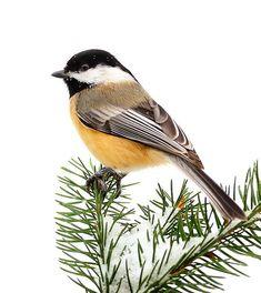 Black-capped Chickadee: This chickadee posed proudly on a snowy evergreen bough… Pretty Birds, Love Birds, Beautiful Birds, Animals Beautiful, Small Birds, Little Birds, Colorful Birds, Funny Bird, Black Capped Chickadee