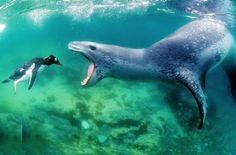 Snack time for the Leopard Seal