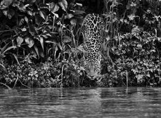 sebastiao salgado jaguar - Google Search