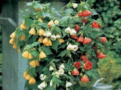 How to Grow and Care for Abutilon - See more at: http://worldoffloweringplants.com/grow-care-abutilon