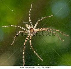 Cane Spider Hawaii