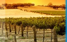 Photo about Vineyard Sunset in the Barossa Valley. Image of summer, outdoor, agriculture - 2325791 Images Of Summer, South Australia, Places Ive Been, Vineyard, Sunset, Travel, Outdoor, Templates, Garden