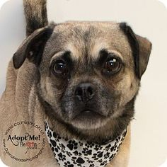 URGENT! I am at a kill shelter in Troy, OH - Pug/Beagle Mix. Meet Jeffrey, a dog for adoption. http://www.adoptapet.com/pet/12919125-troy-ohio-pug-mix