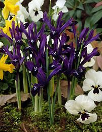 Kevätkurjenmiekka Purple Gem - Viherpeukalot