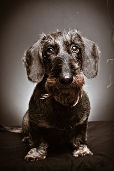 Wire-haired doxie. Love!!