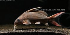 Plecostomus, All Fish, Beautiful Fish, Freshwater Fish, Catfish, Tropical Fish, Predator, Fresh Water, Insects