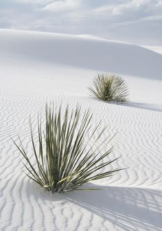 White Sands Two Yuccas, New Mexico