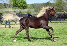 silver black - unknown Rocky Mountain Horse colt
