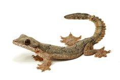 Ptychozoon | Ptychozoon kuhli ; Flying Gecko