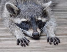34 Raccoons That Love Falling Asleep | He's dreaming he's SuperRaccoon! Faster than a speeding garbage truck, more powerful than a trash compactor, & able to leap into dumpsters in a single bound!