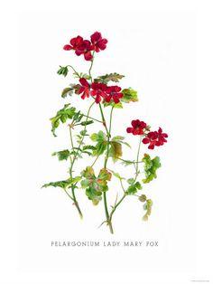 Pelargonium Lady Mary Fox (botanical print)
