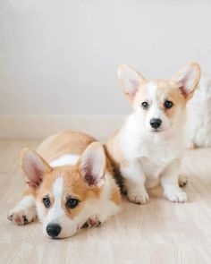 Baby Corgi, Cute Corgi Puppy, Corgi Dog, Cute Puppies, Corgi Pictures, Cute Animal Pictures, Baby Farm Animals, Cute Animals, Funny Looking Dogs