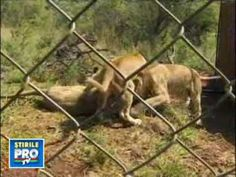 Unbelievable! Absolute friendship between a man and 38 lions!