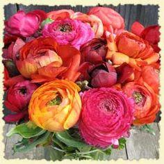 ranunculus  #flower