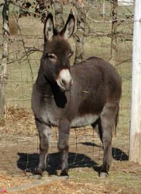 The Miniature Donkey - Little Friends Ranch Mini Donkey, The Donkey, Zoo Animals, Animals And Pets, Cute Animals, Miniature Donkey, Cute Goats, Horse Pictures, Animals Of The World