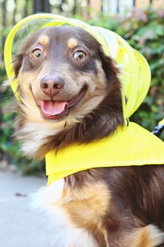 Can't get your dog to go outside in the rain? The Push Pushi dog raincoat may be your solution!