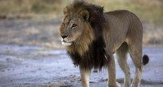 Mmamoriri the lioness is said to exhibit the physical characteristics of both genders (Twitter)