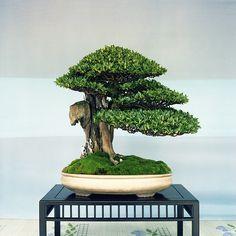 bonsai | Teppei Takahashi | Flickr