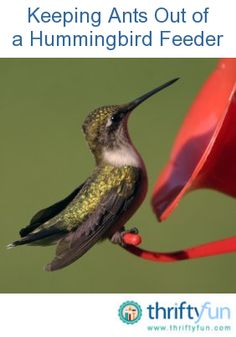 This is a guide about keeping ants out of the hummingbird feeder. The sweet liquid in your hummingbird feeder attracts more visitors than just your intended guests. Ants also love the sweet nectar and often invade the feeders. Keeping them out can be a real hassle.