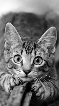 ready to pounce ; ) Cute Cats And Kittens, I Love Cats, Crazy Cats, Cool Cats, Kittens Cutest, Beautiful Cats, Animals Beautiful, Tiny Dog Breeds, Image Chat
