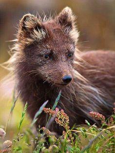 Wild arctic fox