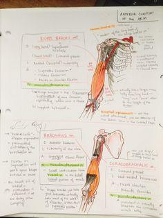ambitions like ribbons — Anterior thorax and upper limb bones Human Anatomy Drawing, Human Anatomy And Physiology, Anatomy Study, Anatomy Art, Medicine Notes, Medicine Student, Arm Muscle Anatomy, Upper Limb Anatomy, Nursing School Notes