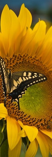 Beautiful Sunflower and Butterfly!