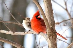 A Northern Cardinal and a White-crowned Sparrow share a branch in New Oxford, Pennsylvania, By Linette Mansberger