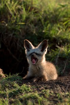 Bat-eared Fox #animals