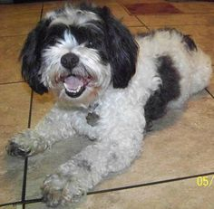 Meet Chewy, an adoptable Shih Tzu looking for a forever home. If you're looking for a new pet to adopt or want information on how to get involved with adoptable pets, Petfinder.com is a great resource.