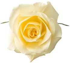 "Photo from album ""White Day"" on Yandex. Image Beautiful, Beautiful Roses, Yellow Roses, White Roses, White Rose Png, Ronsard Rose, Rose Clipart, White Day, Pastel"