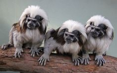 Sydney's Taronga Zoo has welcomed a new family of cotton-top tamarins which are helping to educate tour groups about illegal wildlife trade and the plight of their critically endangered species. Picture: WENN