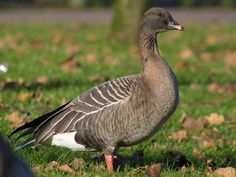Pink-footed Goose Anser brachyrhynchus - Google Search