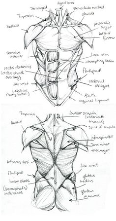 Anatomy+Final.TorsoStudy+by+Quackamos.deviantart.com+on+@deviantART