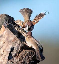 Tree Sparrow,  England