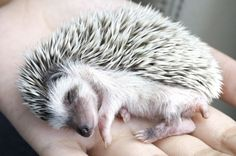 8 Things to Know Before Bringing a Hedgehog Home