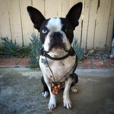 Sonny approved  |  Laser Cut ( Boston Terrier ) necklace/keychain made from Genuine American Bridle Tan Leather now available @ fadehurricane.etsy.com #arttechnologyanddesign #bostonterrier #blueeyedsonny #dogsofinstagram #handclicked #handmade #madeinusa #usamade #thedesigntip #etsy #shopetsy #bostonterriersofinstagram #pendant #ligaturecollective @dogsofinstagram #goodtype #keychain @bostonterriers #lasercut #etsyseller #laserengraved  #leathernecklace #vectorshaping #adobe #etsyfinds…