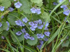 Ground Ivy: Herb of the Week · CommonWealth Center for Holistic Herbalism Yellow Candles, Magic Charms, Pagan Witch, Herb Pots, Nature Journal, Botanical Drawings, Little Plants, How To Make Tea, Green Garden