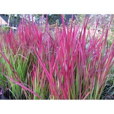 Imperata cylindrica 'Red Baron'. Japans bloedgras. Tall Plants, Baron, Online Images, Red Flowers, Arcade, Exterior, Gallery, Gardening, Google
