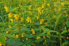 Closer shot of Partridge-Pea at Cheslen Preserve in se PA Aug 2015 Wildflower Seeds, Partridge, Native Plants, Preserves, Wild Flowers, Acre, Closer, Fields, Gardens