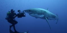 BBC - Earth - Filming the amazing great white shark hunt